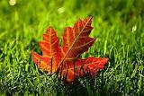 Maple-leaf-3680684 640