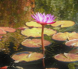 Flowers - water-lilly