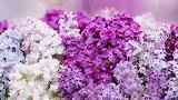 4.flower-lilacs-flowers-purple