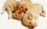 Cute Sleeping Puppies