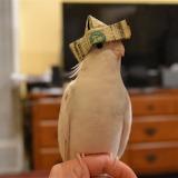 cockatiel with hat