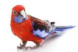 Crimson Rosella (Platycercus elegans) bird