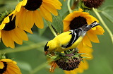 Goldfinch In Sunflowers Newport News Virginia USA