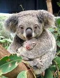 ^ Koala cuddle