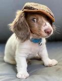 Puppy, Cute Puppy
