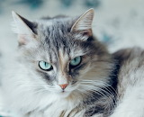 Beautiful blue-eyed cat