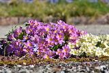 Primrose- flowers-spring-nature