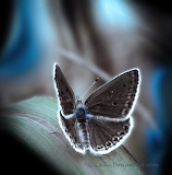 Chocolate Butterfly Blue