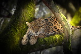 Nature, tree, animal, moss, predator, jungle, leopard, Africa