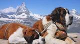 Saint Bernards and the Pennine Alps