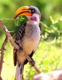 Hornbill, Tsavo