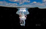 Mauve stinger jellyfish.ixtapa-Zihuatanejo.Mexico
