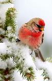 Perch in the snow