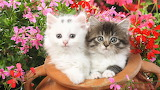 Flowers cats animals kittens