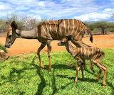 Newborn Kudu, Kenya
