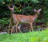 deer-from & for Topazspirit via ardena