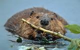 North American beaver. Denali National Park. Alaska