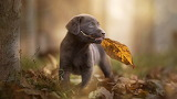 Retriever-puppy-dogs-autumn