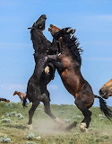 Horses - Wild Stallions - Fighting for Mares - Wyoming