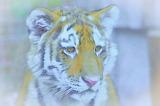 """Baby Tiger"""