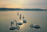 Swans in Ukraine Winter