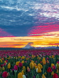 Tulip Festival. Oregon