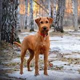 Spunky Irish Terrier...
