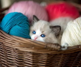 Kitty in the basket