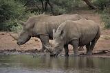 Rhinocéros s'abreuvant...
