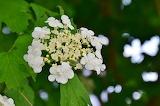 Ortensia giapponese bianca