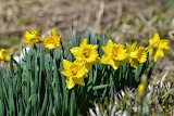 Yellow daffodils, flowers, spring, nature