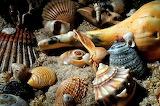 Conchillas de mar
