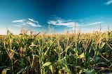 Farms-CornFields123