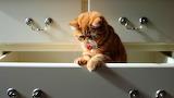 Exotic Persian Cat