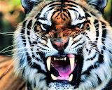 #Ferocious Tiger