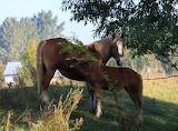 Nursing mare