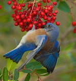 Northeastern Bluebird