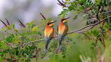 ^ Two Bee-eaters