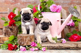 puppies and roses