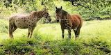 Arzua to Santiago Horses
