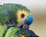 ^ Parrot, colors feathers, beak, eyes