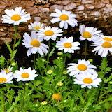 ☺ Pretty Daisies...