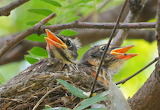 Nestling Robins - © 2013 PamNY