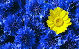 Yellow-blue Flower Power