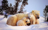 Polar Bear with 2 cubs