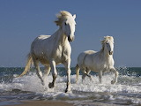 Camargue horses in the surf