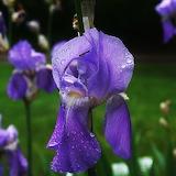 The Lavender Iris