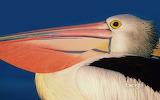 Profile of and Australian pelican