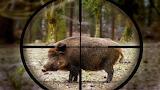 Wild Hog in sight