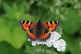 butterfly-Aglais urticae